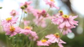 在微风的日本银莲花属