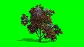 在微风的树日本stewertia在绿色屏幕上的秋天 向量例证