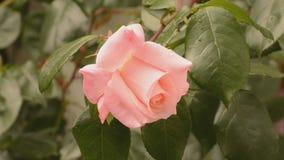 在微风的桃红色玫瑰 股票视频