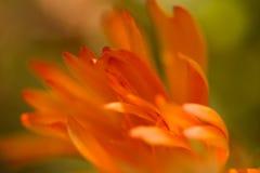在微风的橙色瓣 免版税图库摄影