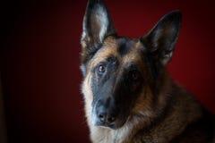 在德国牧羊犬狗的顶头掀动在红色背景前面 库存图片