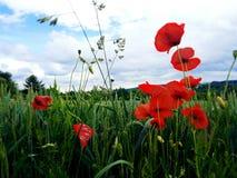 在德国领域、开花的鸦片和绿色麦子的夏天晚上 免版税图库摄影