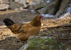 在德国鹿的一只鸡在夏天停放 免版税库存照片