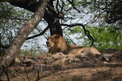 在德里动物园的亚洲狮子 免版税库存照片