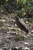 在德里动物园的共同的印地安池塘苍鹭 免版税库存照片