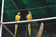 在德里动物园的蓝色和黄色金刚鹦鹉 库存图片