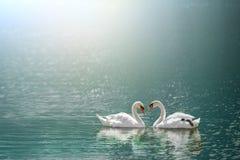 在心脏形状的美丽的白色天鹅在火光光的湖 免版税库存照片