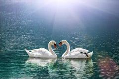 在心脏形状的美丽的白色天鹅在火光光的湖 免版税库存图片