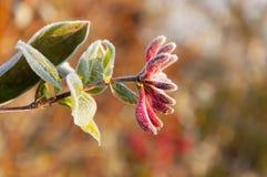 在忍冬属植物的第一芽的早晨霜在秋天 免版税库存图片