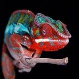 在忠心于的豹变色蜥蜴黑背景细节 图库摄影