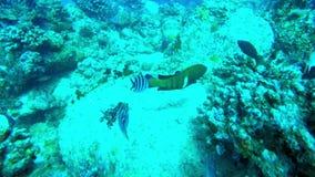 在快的鱼之后通过礁石 股票视频