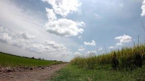 在快速地移动在天空的风和云彩的米摇动在稻田 股票录像