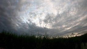 在快速地移动在领域的晚上的风和云彩的米摇动 股票视频