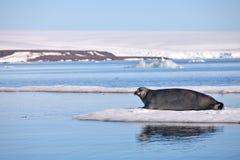 在快速的冰的髯海豹 免版税库存图片