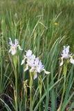 在怀俄明大草原的狂放的虹膜 免版税库存照片