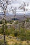 在怀俄明风景的亚斯本树 库存照片