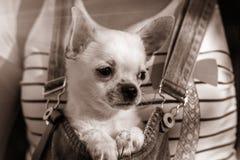 在怀里的小狗在日落 乌贼属背景 免版税库存图片