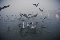 在恒河的海鸥 库存照片