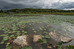在恶劣天气的湖莲花 图库摄影