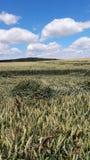 在恶劣天气以后的麦子 库存照片