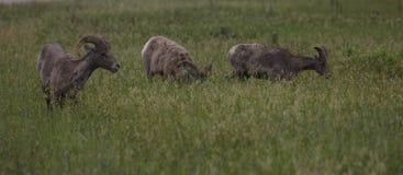 在恶地国家公园的三只大垫铁绵羊 免版税库存照片