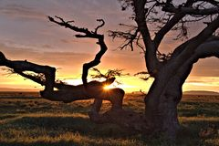在恶魔树的日落在塞伦盖蒂 免版税库存图片