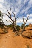 在恶魔的庭院足迹,拱门国家公园的死的树 库存图片