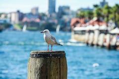 在悉尼港口的海燕 库存图片