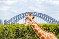 在悉尼港桥前面的长颈鹿 库存照片