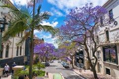 在悉尼街道上的开花的兰花楹属植物树在晴天 图库摄影