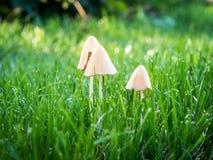 在您的草坪除掉蘑菇 库存图片