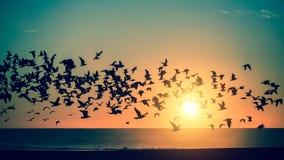 在惊人的日落期间,现出轮廓海鸥群在海的 自由 库存照片
