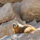 在惠特尼山脉的土拨鼠 库存图片
