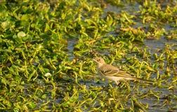 在意大利沼泽地栖所的黄色令科之鸟 免版税库存图片