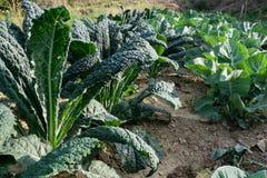 在意大利领域的生物黑圆白菜 免版税库存照片