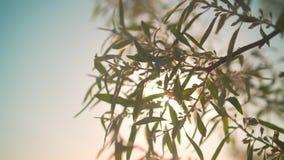 在慢动作的新鲜的绿色叶子 在落日的光芒的明亮的灌木 影视素材