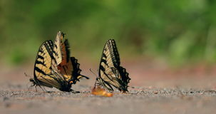 在慢动作的蝴蝶 影视素材