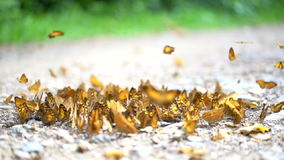 在慢动作HD,土壤地面的野生生物栖所的五颜六色的黑脉金斑蝶 股票视频