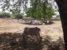 在戈库尔的母牛 免版税库存照片