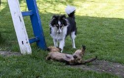 在戏剧和一架白蓝色梯子的两条狗在庭院里 库存照片
