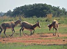 在戏剧的南非动物 免版税库存照片