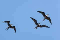在戏剧的壮观的Frigatebirds 免版税库存图片
