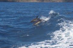 在戏剧的大西洋白支持的海豚,亚速尔群岛 免版税库存照片