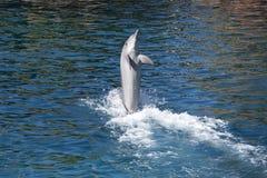 在戏剧的海豚 免版税库存照片