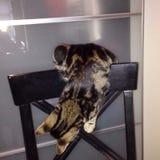 在戏剧的猫 免版税库存图片