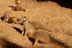 在戏剧的Meerkats 免版税库存图片