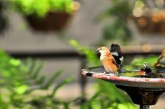 在戏水盆的雀科鸟在佛罗里达 免版税图库摄影