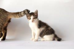 在成人猫后的一只小的平纹小猫 免版税库存照片