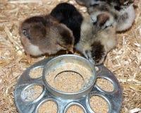 在成功孵化以后的纯净的品种婴孩小鸡 图库摄影