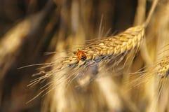 在成熟五谷的瓢虫 库存照片